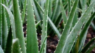 Low Cost Aloe Vera Business Plan: कम लागत में एलोवेरा बिज़नेस से ऐसे बढ़ेगी आपकी आमदनी