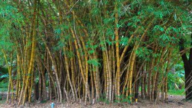 Business idea of Making Bamboo Products: बांस का व्यापार लगा सकता है आपकी कमाई में चार चांद, जानें कैसे होगी बिज़नेस की शुरुआत