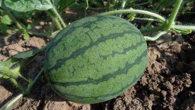 Business Idea For Growing Watermelon: तरबूज़ की खेती का व्यवसाय कर सकता है आपको मालामाल, जानें बिज़नेस शुरू करने के बेहतरीन टिप्स